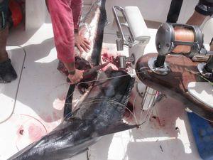 Ce Marlin est trop grand, il ne tient pas dans le bateau donc, il faut le couper en deux