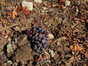 Les grêlons ont haché les feuilles, martyrisé les ceps et écrasé les raisins... © Jean Bernard