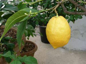 Les serres du jardin botanique avec des citrons gros comme des melons ... en avril !
