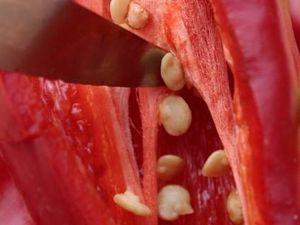 Les semis de graines de poivron rouge, un jeu d'enfant