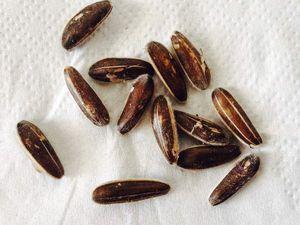 La récolte des graines sur les plants fanés (premiers essais)