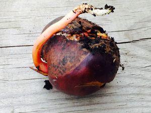 La germination des marrons (premier essai)