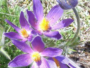 L'anémone pulsatille Pusatilla vulgaris, présente sur nos pelouses calcaires. Sa beauté impose le respect.