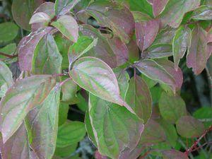 Au dessus, genèvrier commun, puis vione lantane, en bas, feuille d'aubépine