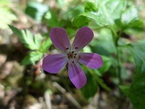 Geranium robertianum-geranium herbe à Robert