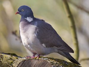 rouge gorge familier et pigeon ramier (photos internet libres de droits)