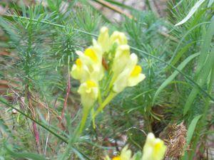 linaire commune-Linaria vulgaris, parc à daims