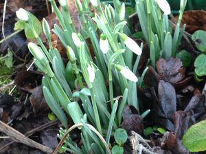 Perce-neige et crocus dans le jardin de mon amie Marie... Jonquilles et fleurs de romarin chez moi.
