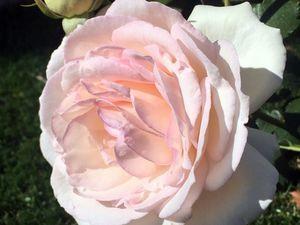 """Les premières roses de mon fameux rosier """"Palais royal"""", planté cet automne. Je n'en suis pas peu fière..."""