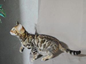 Plein de jolis chats Bengal Nés ou passés chez nous