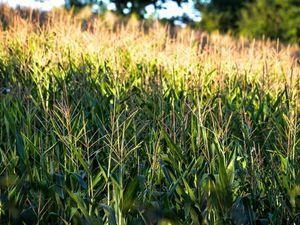 Non, ce n'est pas une foire agricole! Mais quelques images de la campagne béarnaise sous le soleil, et d'adorables petits veaux qui deviendront d'énormes vaches laitières!