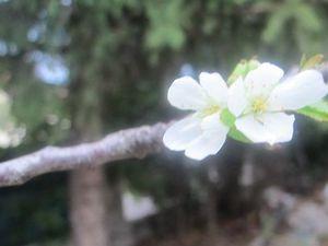 Le cerisier en fleur
