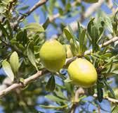 The Argan tree,the argan fruits  and the  argan oil ...Moroccan women
