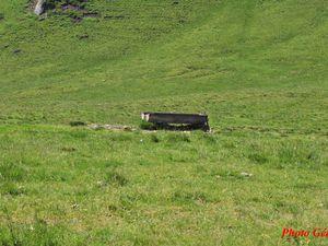 """Un troupeaux de vaches """"Aubrac"""" et l'abreuvoir."""