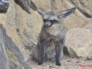Otocyon, un renard qui a de l'oreille.