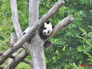 Panda géant. La femelle, en gestation est à l'abri des regards.