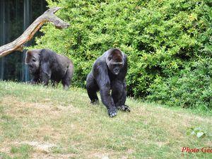 Gorilles.