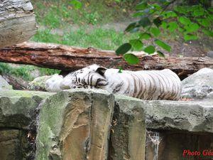 Tigre blanc.