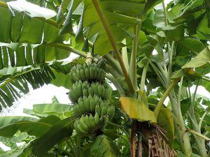 Régime de banane, papaye, piments, concombres, carottes, etc