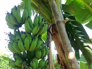 ผลิตภัณฑ์ จากต้นกล้วยอินทรีย์ของเรา