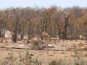 Au détour d'un chemin, à l'ombre d'un arbre quel ravissement de découvrir quatre lions assoupis à une dizaine de mètre.