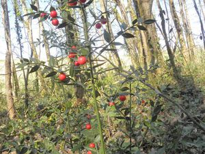 Pied de fragon petit houx pour le Livre des Records du nombre de baies, marquages territorial de Renard sur tronc d'arbre mort et autre tronc désintégré fraîchement par un Pic noir !
