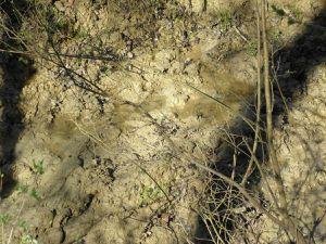 Souille de Sangliers dans ruisseau et tronc maculé de boue après frottage