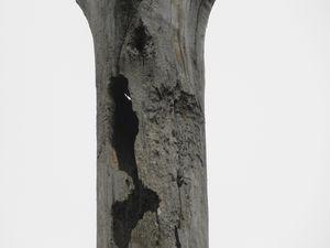 Arbres morts transformés en gruyère par nos amis les Pics