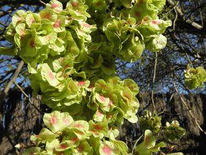 Orme champêtre couvert de graines, Laurier sauce et ses fleurs.