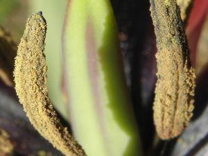 Tulipe d'Agen dans le détail !
