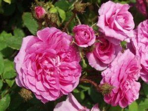 Les filles naissent dans les roses et les garçons dans les choux. La cigogne les apporte à leurs parents
