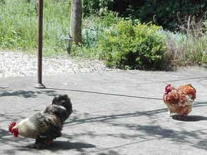 """Attention ! ils se préparent ... Pris les pattes dans le pot ! Mais tu me vois ? """"Poule de Paques !!"""""""