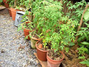 Ditmarsher en pots en début de saison et la première tomate mûre... en juillet.