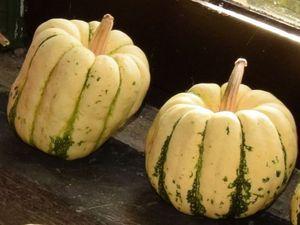 """Les courges """"Lady Godiva"""" à graines nues, les courgettes, les patidoux et les pâtissons sont tous des Cucurbita pepo et peuvent s'hybrider entre eux."""
