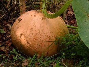 Potirons et potimarrons sont des Cucurbita maxima : ils peuvent s'hybrider entre eux mais pas avec les Cucurbita pepo.
