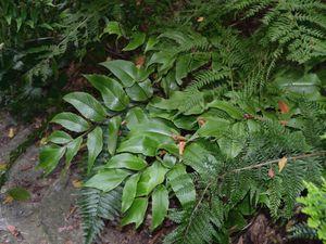 La première est Dryopteris erythrosora dont les jeunes frondes sont orange au printemps, la seconde un cyrtonium et les deux autres... je ne sais pas
