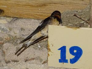 Hirondelle rustique (Hirundo rustica). Photo : JLS