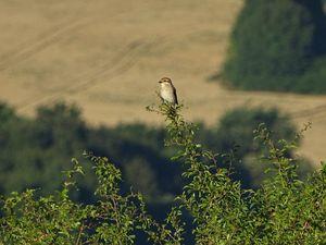Pie-grièche écorcheur ♀ (Lanius collurio). Photo : JLS (Cliquez pour agrandir)