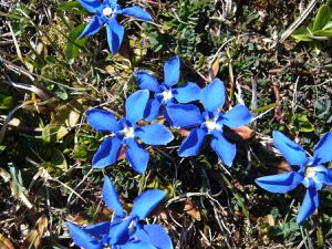 Gentiane de printemps, Gentiana verna
