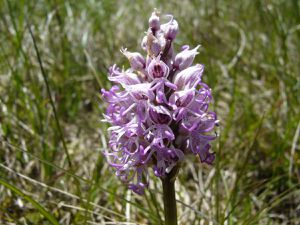 Orchis singe, Orchis simia
