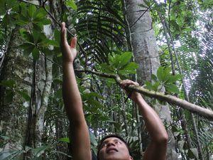 Cet arbre est un Palo Santo. Son bois est utilisé comme encens dans les églises ou dans certaines cérémonies. Il est bien entendu aussi utilisé comme simple encens. A l'intérieur se trouve une certaine fourmi appréciée par les kichwa pour sa saveur citronnée. On y a goûté, en effet, c'est acide! Et apparemment plein de protéines.