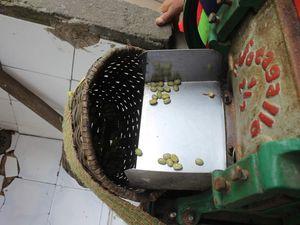 1ère étape: séparer le grain de la pulpe à l'aide de ce moulin, le bac en dessous sert à laver les grains pour enlever tous les restes de pulpe.
