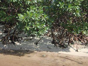 Mucura abrite quelques kilomètres carrés de mangroves, un lieu incroyable pour observer la biodiversité (et malheureusement les déchets rejettés par la mer qui se perdent entre les racines).