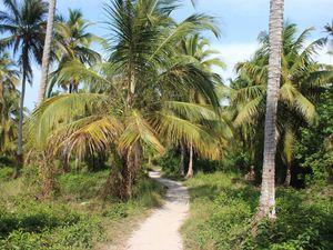 Sur l'île, la culture des cocotiers domine, ce qui donne, il faut l'avouer, l'envie de grimper en chercher quelques unes!
