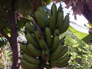 Mais dis moi Jammy ? Comment pousse la banane ????