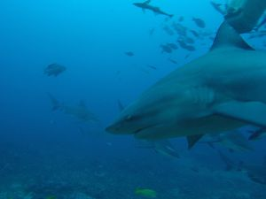 The first 3 pictures are Bull Sharks