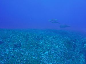 Reef Sharks, Blue Marlin, Dolphins ....
