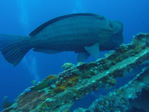 USS Liberty, Giant Bumphead parrot fish, Ribbon eal, leaf scorpion fish, baraccuda and octopus