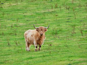 Aberdeenshire - 29 Octobre (le petit veau trop meugnon !!!)