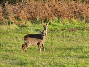 Skye - 13 Octobre (C'est la maman de Bambi ! D'ailleurs, ils ont pas tourné Bambi en Ecosse ?)